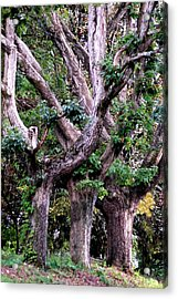 Triplet Trees Acrylic Print by Beverly Hammond