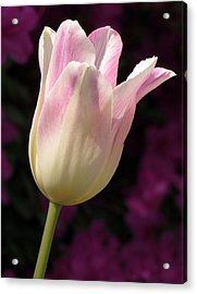 Acrylic Print featuring the photograph Triumph Shirley Tulip by Darleen Stry