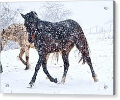 Trotting In The Snow Acrylic Print by Betsy Knapp