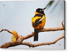 Troupial Bird Acrylic Print by Paulette Thomas