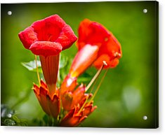 Trumpet Blossoms Acrylic Print by Barry Jones