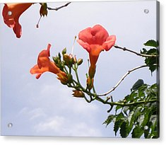 Trumpet Vine Acrylic Print by Kate Gallagher