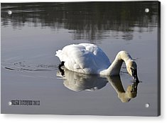 Acrylic Print featuring the photograph Trumpeter Swan by Brian Stevens