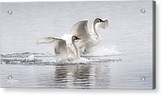Trumpeter Swans Touchdown Acrylic Print