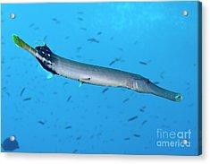 Trumpetfish Acrylic Print by Sami Sarkis