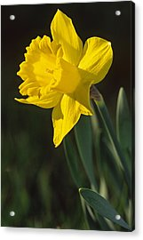 Trumpeting Daffodil Acrylic Print