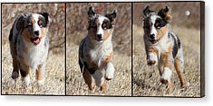 Tryptich Of Puppy Running Acrylic Print by Pat Gaines