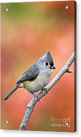 Tufted Titmouse - D007808 Acrylic Print by Daniel Dempster