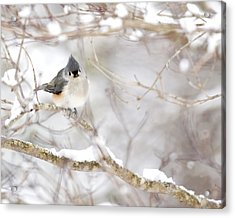 Tufted Titmouse In Snow Acrylic Print by Rob Travis