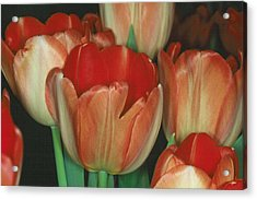 Tulip 1 Acrylic Print by Andy Shomock