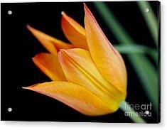 Tulip -2 Acrylic Print