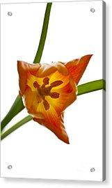 Tulip -4 Acrylic Print