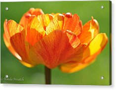 Acrylic Print featuring the photograph Tulip Afire by Ronda Broatch