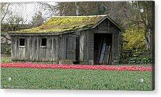 Tulip Barn Acrylic Print by Mitch Shindelbower
