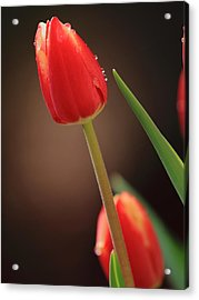 Acrylic Print featuring the photograph Tulip Dew by Coby Cooper