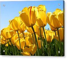 Tulip Acrylic Print by Dhirendra  Jaiswal