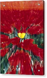 Tulip Field Zoom Effect Acrylic Print by Natural Selection Craig Tuttle