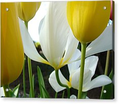 Tulip Flowers Art Prints Yellow White Tulips Floral Acrylic Print by Baslee Troutman