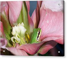 Tulip Frog Acrylic Print by Peter Mooyman