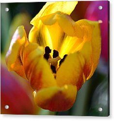 Tulip Light Acrylic Print by Sandi OReilly