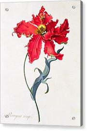Tulip Perroquet Rouge Acrylic Print by Georg Dionysius Ehret