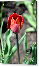 Acrylic Print featuring the photograph Tulip by Pravine Chester
