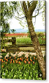 Tulip Time In The Skagit Valley Acrylic Print by Beverly Hanson
