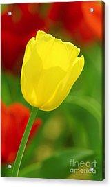 Tulipan Amarillo Acrylic Print