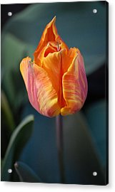 Tulips - Orange And Red Acrylic Print by Dickon Thompson