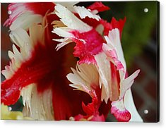 Tulips - Red And White Acrylic Print by Dickon Thompson