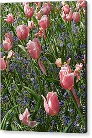 Tulips And Grape Hyacinth Acrylic Print