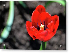 Acrylic Print featuring the photograph Tulips Blooming by Pravine Chester