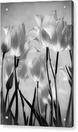 Tulips Glow Acrylic Print