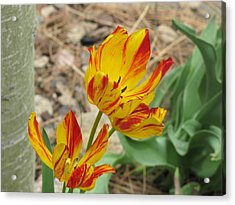 Acrylic Print featuring the photograph Tulips In Aspen by Shawn Hughes
