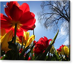 Tulips In Sunshine Acrylic Print