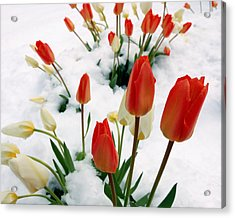 Tulips In The Snow Acrylic Print by Steven Milner