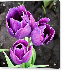 Tulips Queen Of The Night Acrylic Print