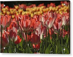 Tulips  Acrylic Print by Ralph Jones