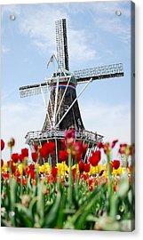 Tulips Windmill Acrylic Print