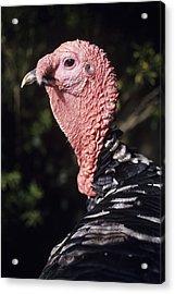 Turkey Cock Acrylic Print by David Aubrey