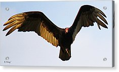 Acrylic Print featuring the photograph Turkey Vulture Evening Flight by Roena King