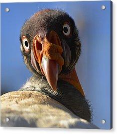 Turkey Vulture Gaze Acrylic Print by Dave Dilli