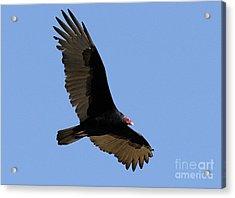 Turkey Vulture Acrylic Print by Marc Bittan