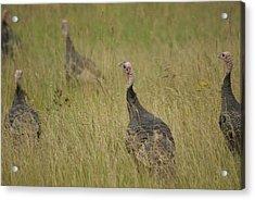 Turkeys Acrylic Print by Michael Peychich