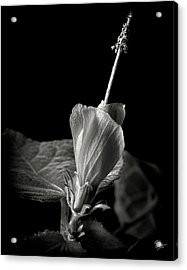 Turk's Cap In Black And White Acrylic Print