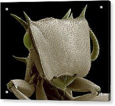 Turtle Ant's Head, Sem Acrylic Print by Steve Gschmeissner