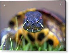 Turtle Beauty Acrylic Print
