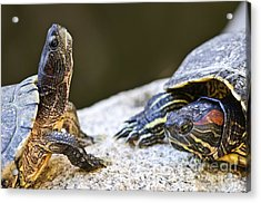 Turtle Conversation Acrylic Print by Elena Elisseeva