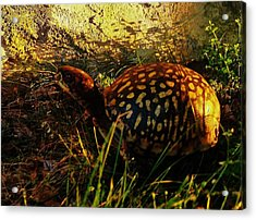 Turtle  Acrylic Print by Maria Blumberg