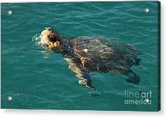 Acrylic Print featuring the photograph Turtle by Milena Boeva